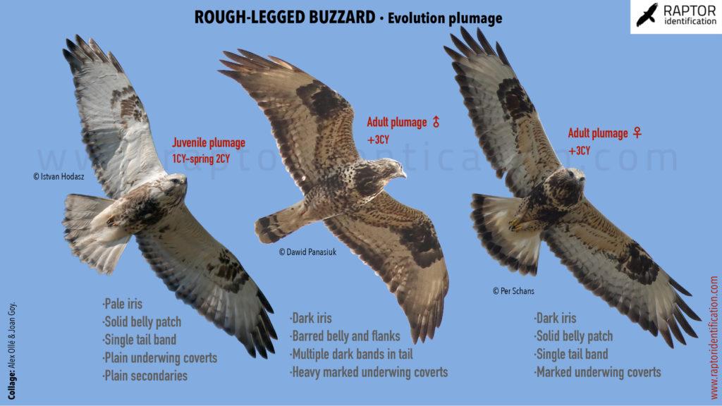 Rough-legged-buzzard-identification-buteo-lagopus