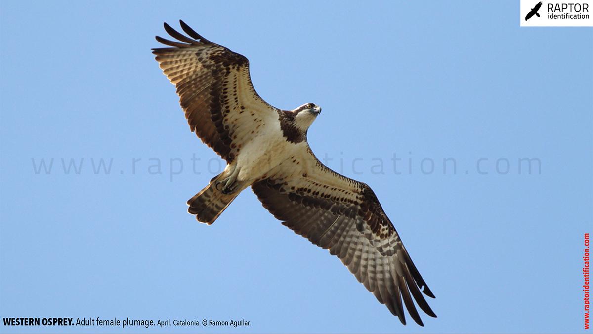 Western-osprey-adult-female