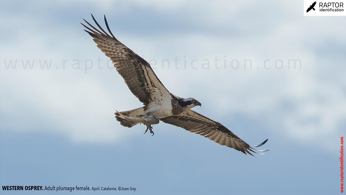 osprey-pandion-haliaetus-adult-female-identification