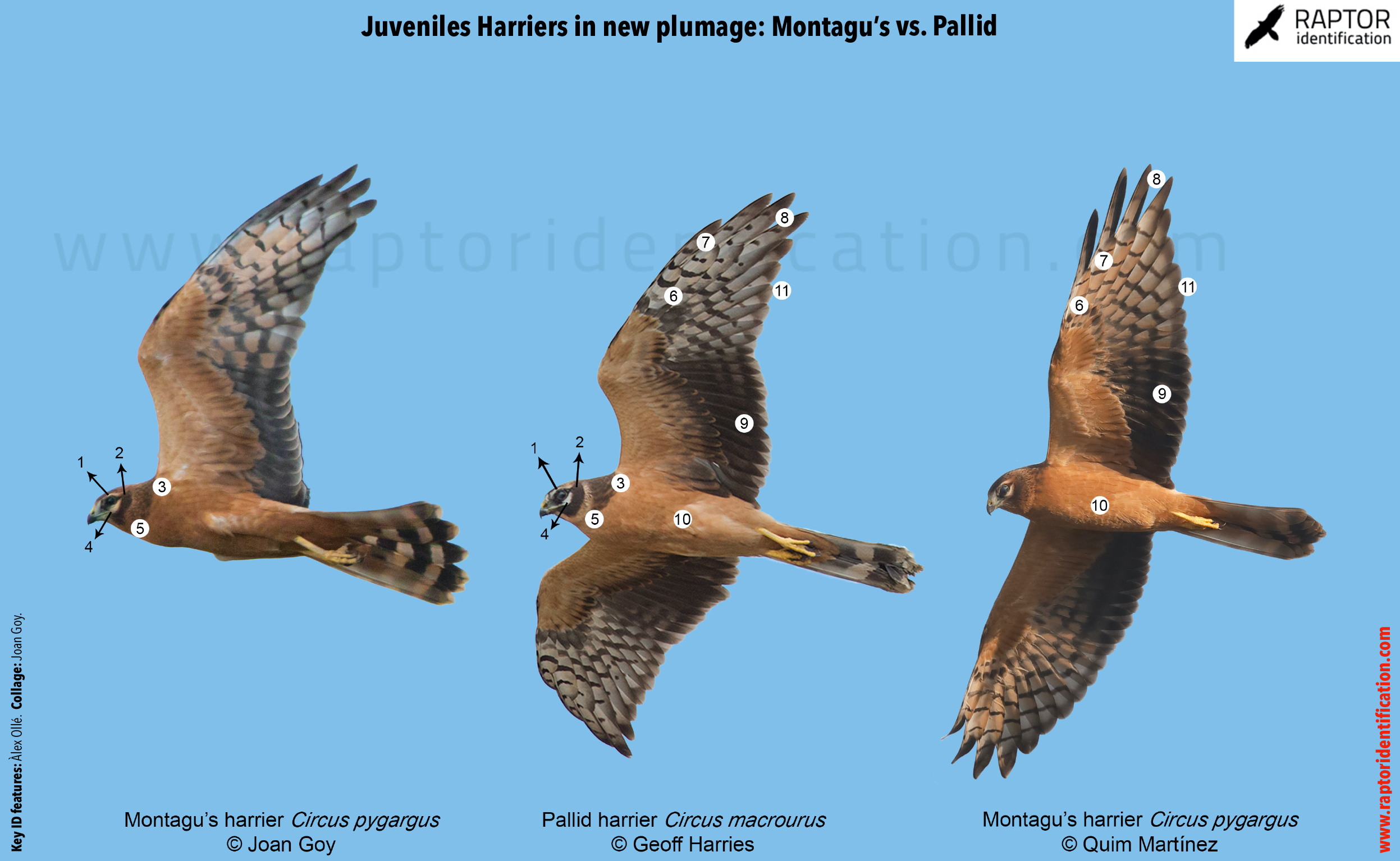 juvenile-harrier-pallid-montagus-identification-circus-macrourus-pygargus