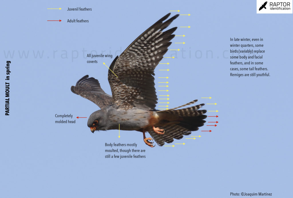 raptor-vespertinus-falco-identification