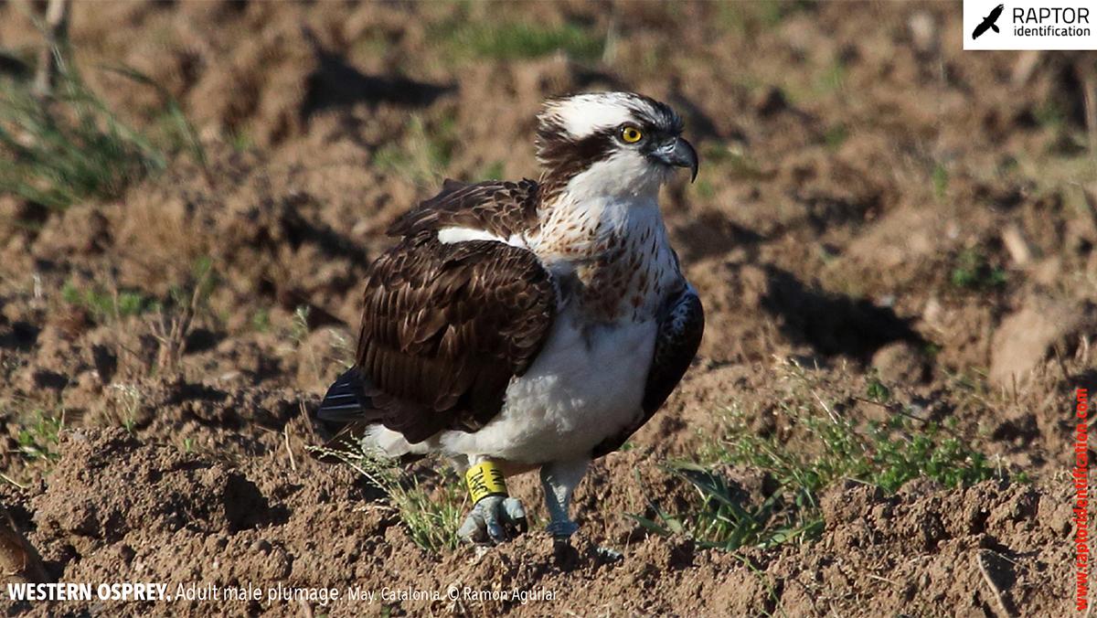 Western-osprey-adult-male