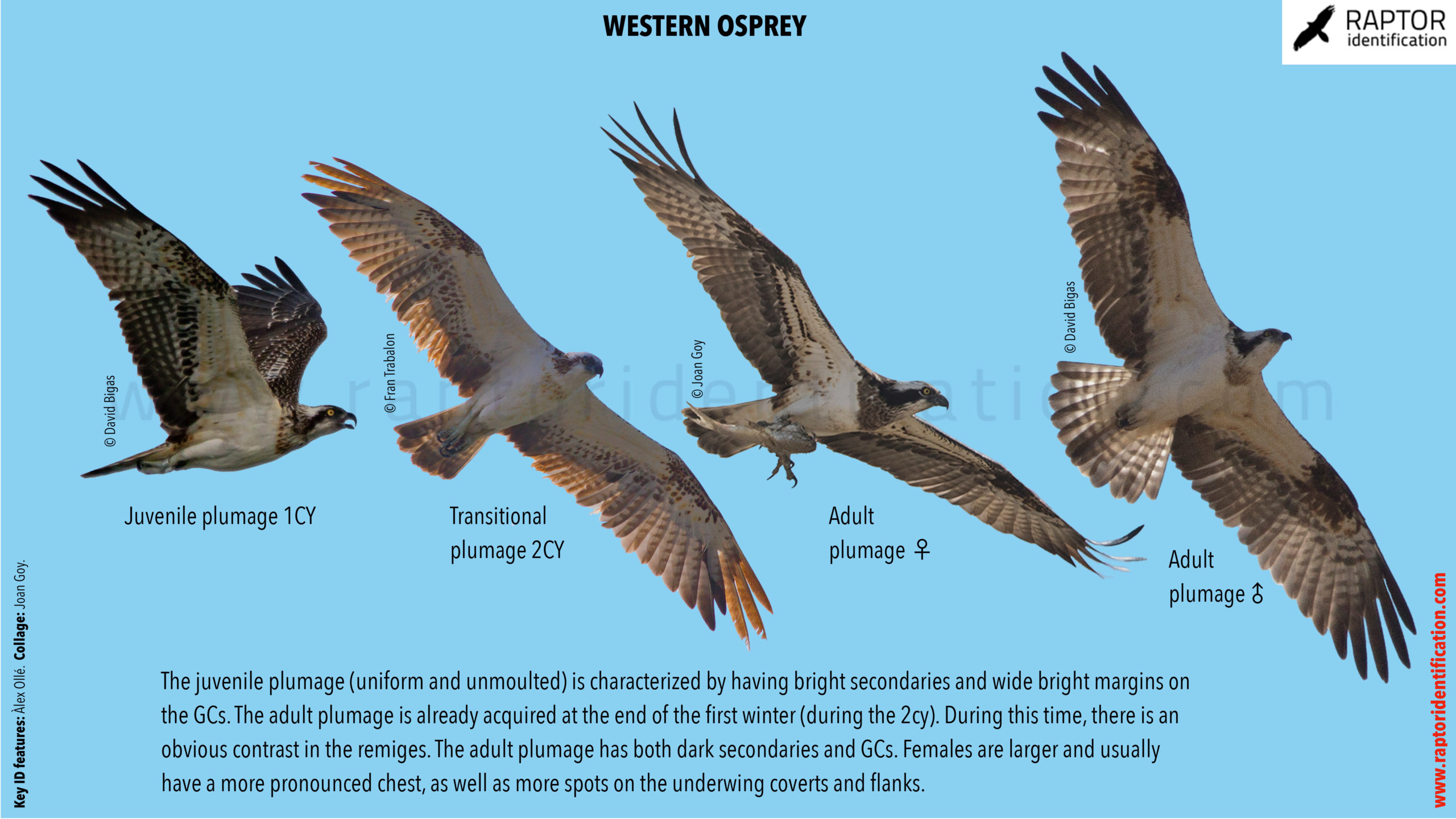Western-Osprey-identification-collage