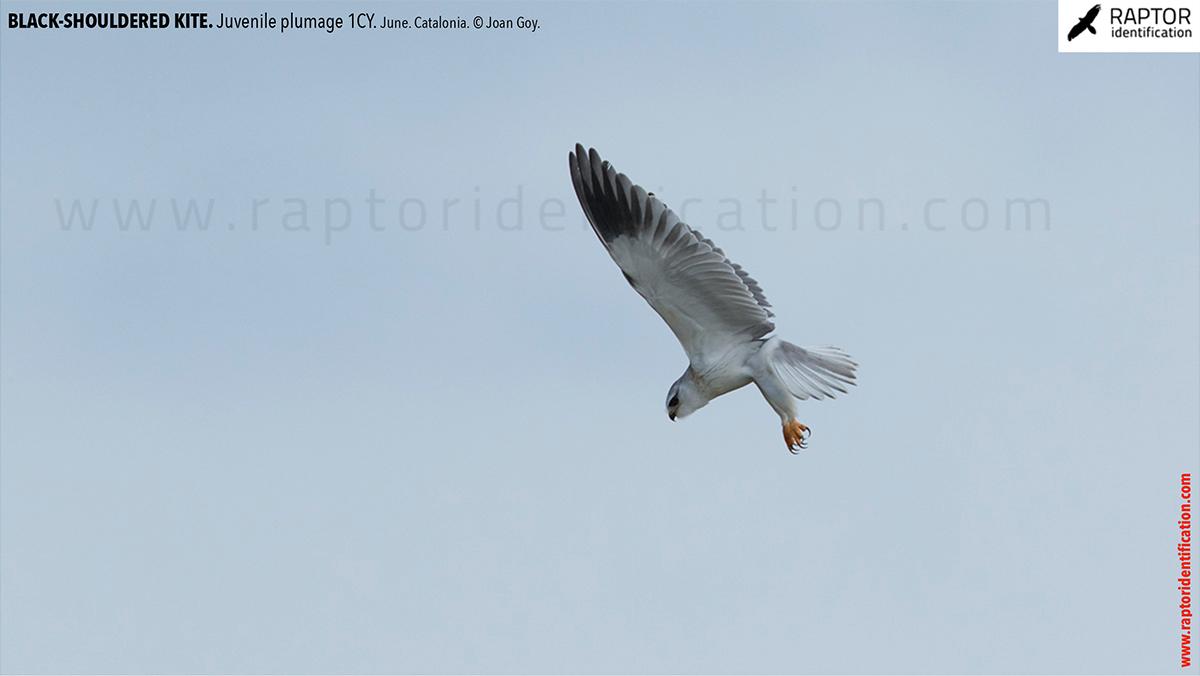 Black-shouldered-kite-juvenile-plumage