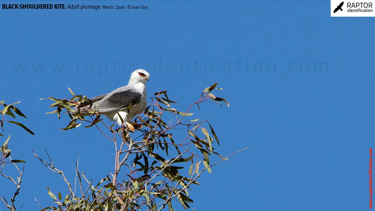 Black-shouldered-kite-adult-plumage