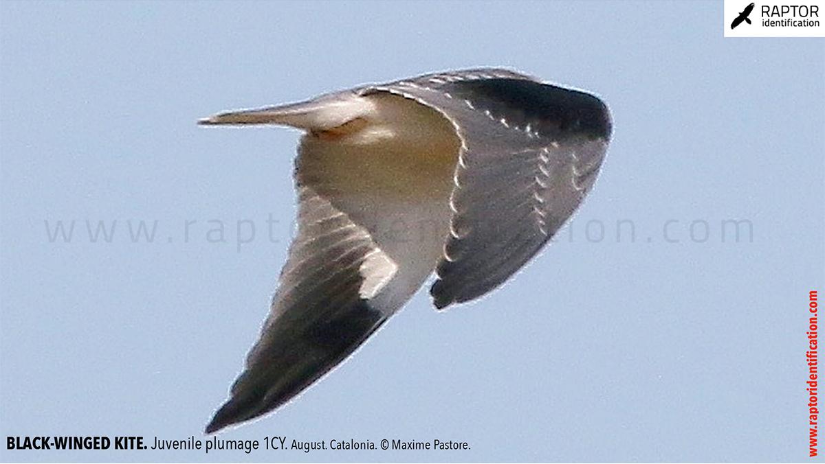 Black-winged-kite-juvenile-plumage