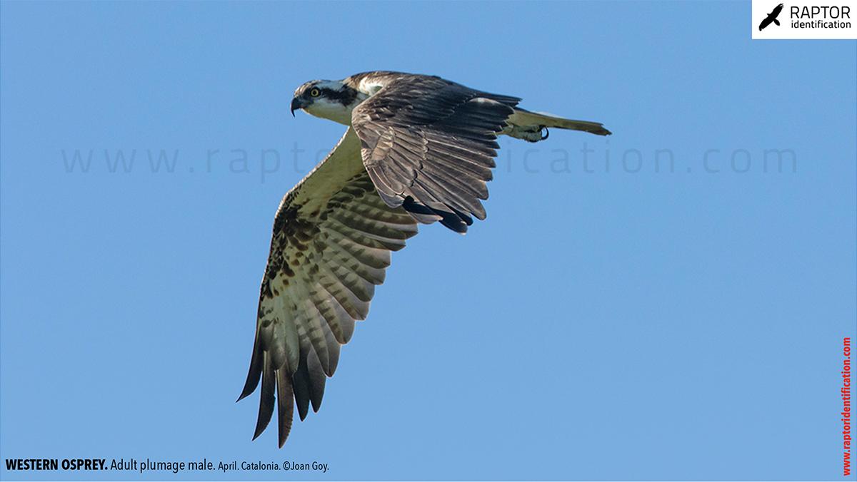 Western-osprey-adult-plumage-male