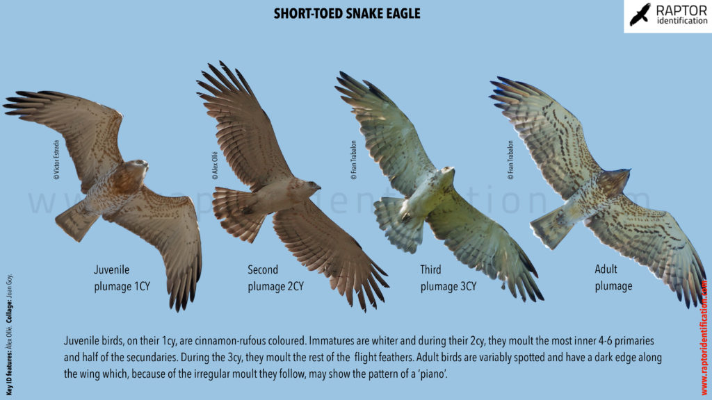 Short-toed-Snake-eagle-identification-circaetus-gallicus