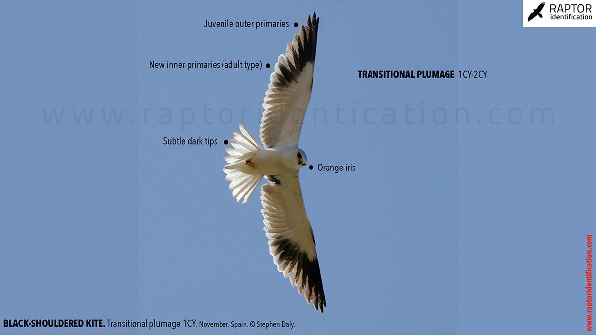 Black-shouldered-kite-transitional-plumage
