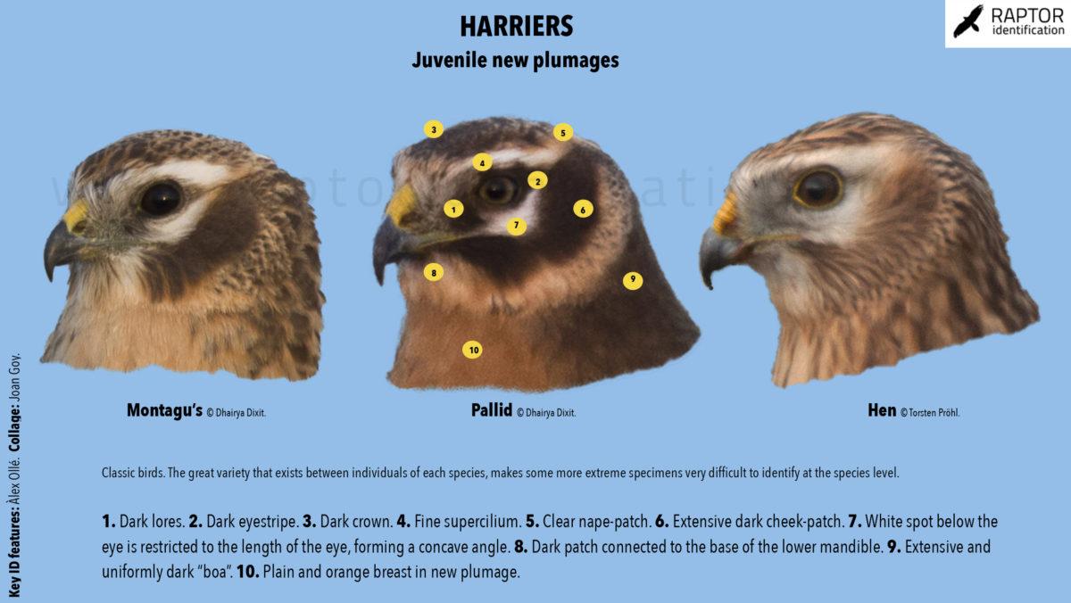 Harriers-head-pattern-pallid-harrier-montagus-macrourus-pygargus-circus
