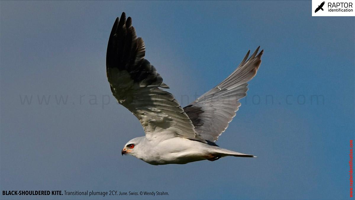 Black-shouldered-kite-transitional-plumage-identification