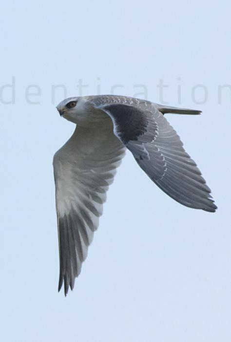 Black-shouldered-kite-juvenile-plumage-identification-elanus-caeruleus