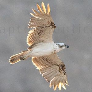 western osprey transitional plumage