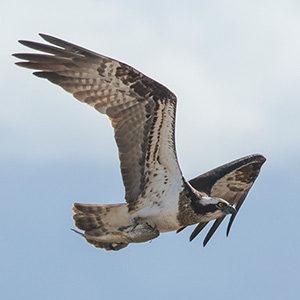 western osprey adult female