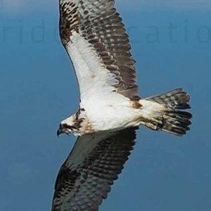 western osprey adult male plumage