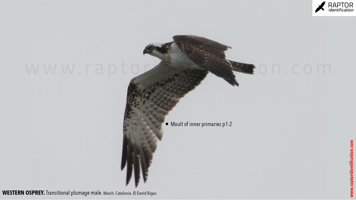Western-osprey-transitional-plumage