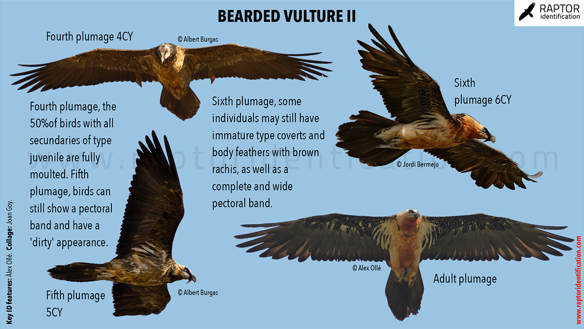 Bearded-vulture-identification