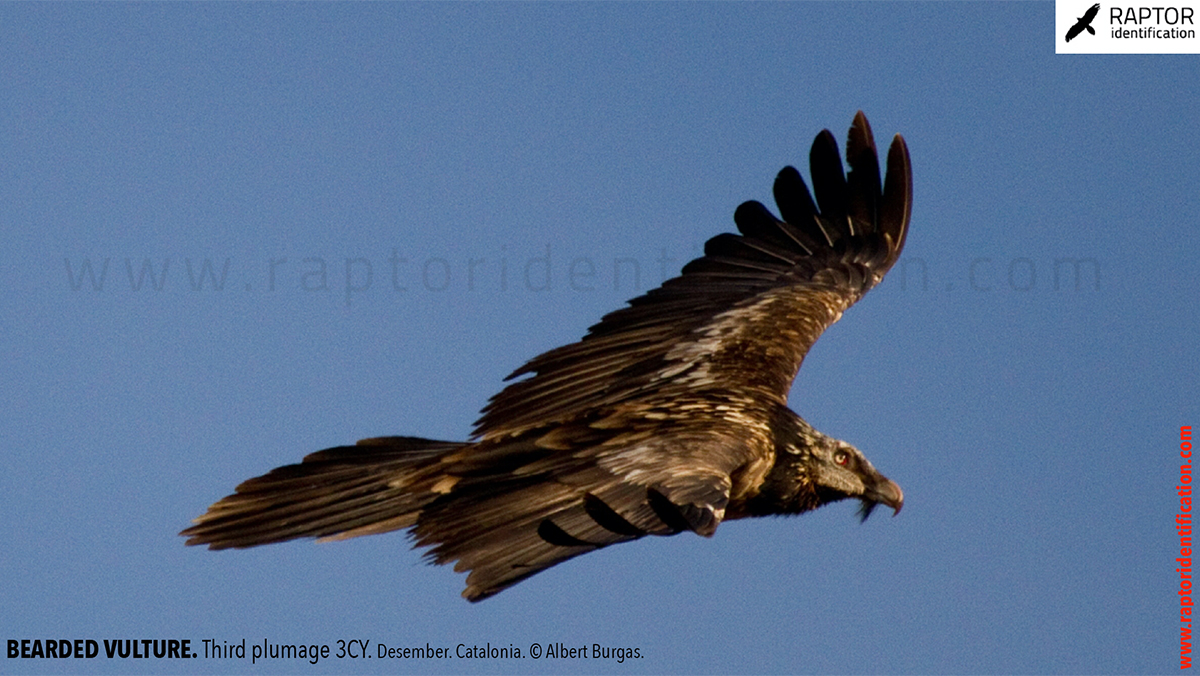 Bearded-vulture-third-plumage