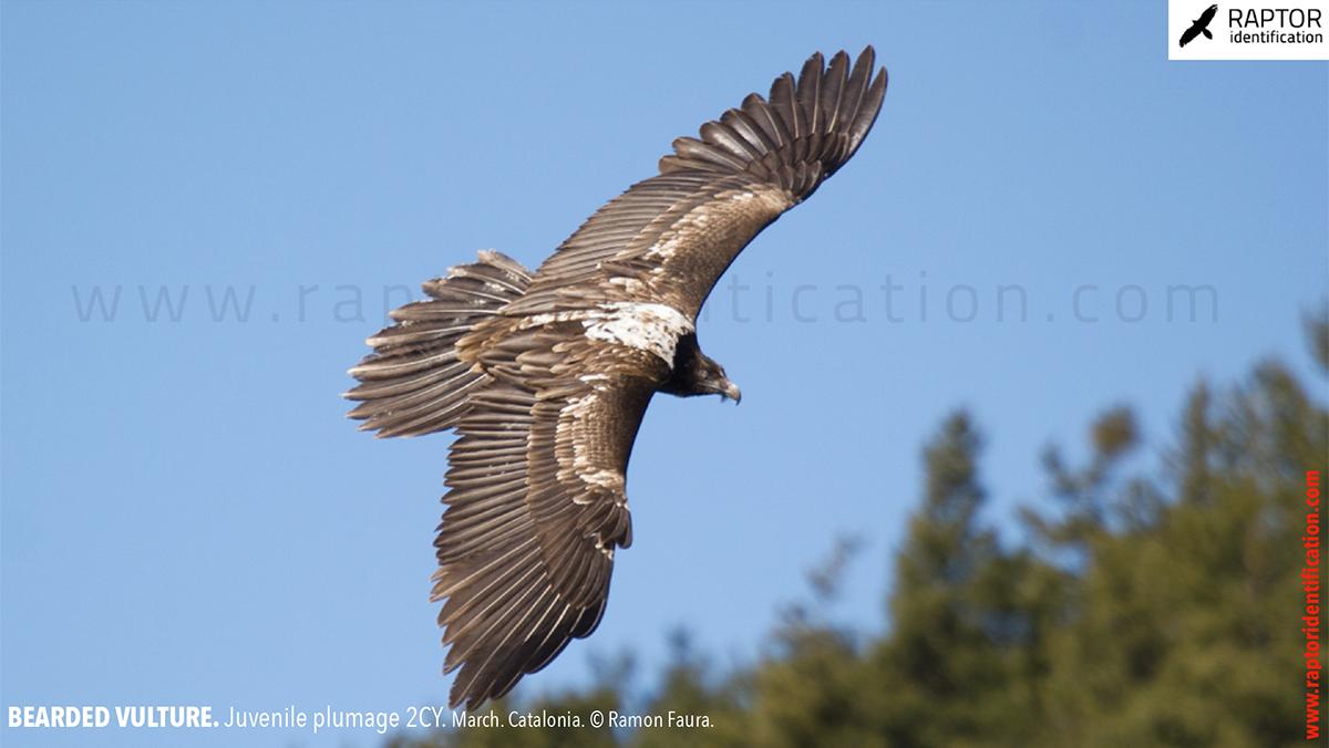 Bearded-vulture-juvenile-plumage-identification