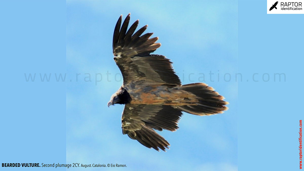 Bearded-vulture-second-plumage