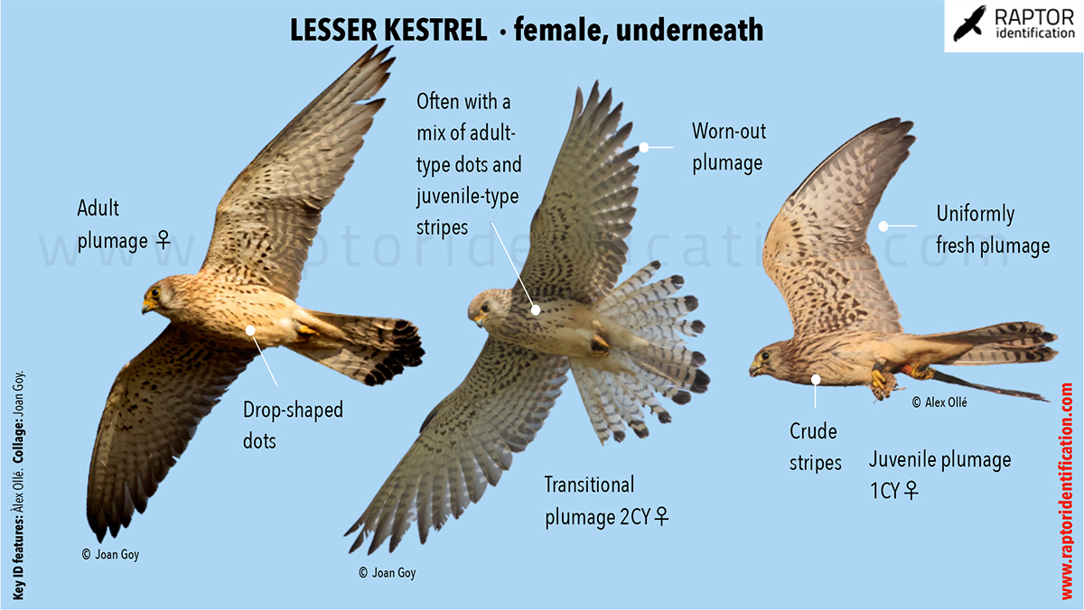 Lesser-Kestrel-female