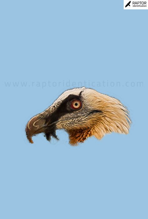 Bearded-Vulture-sexing