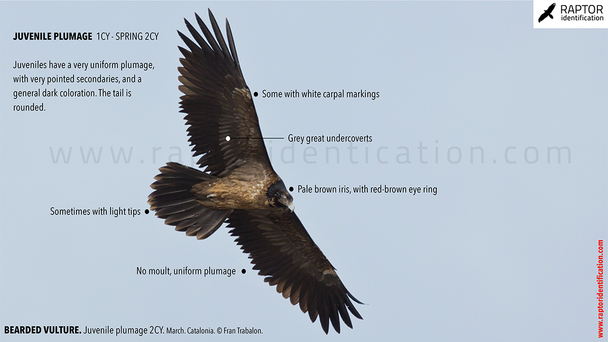 Bearded-vulture-juvenile-plumage