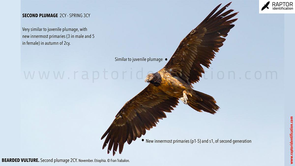 Bearded-vulture-second-plumage-identification
