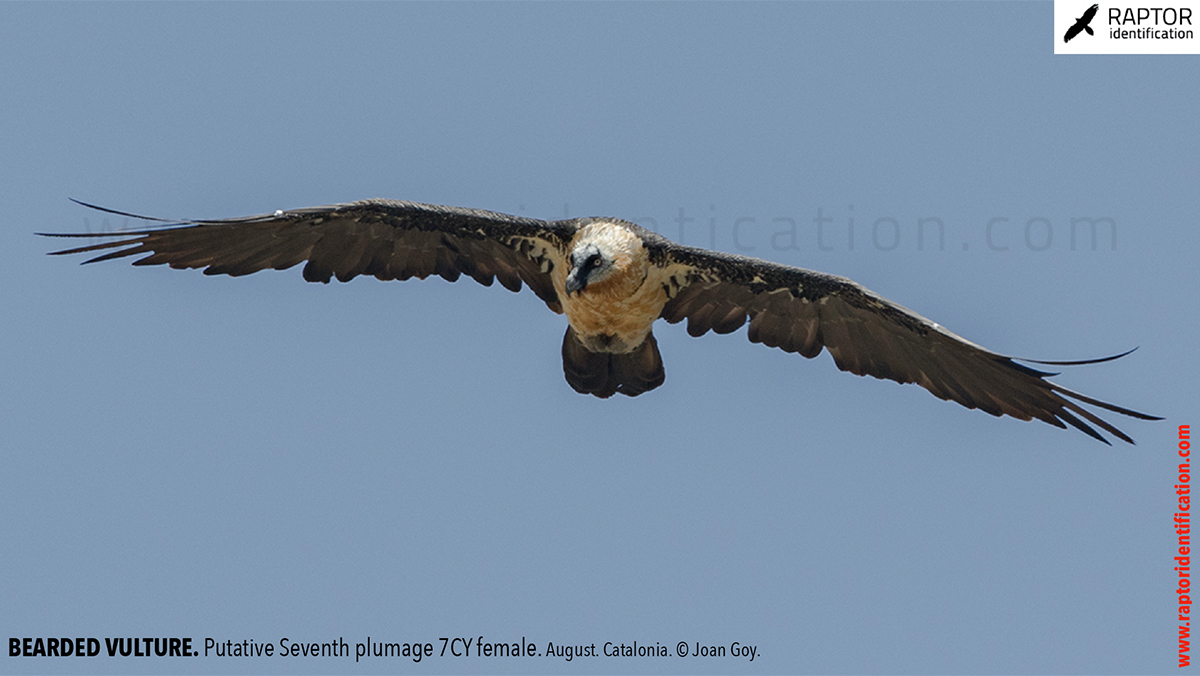 Bearded-Vulture-adult-plumage