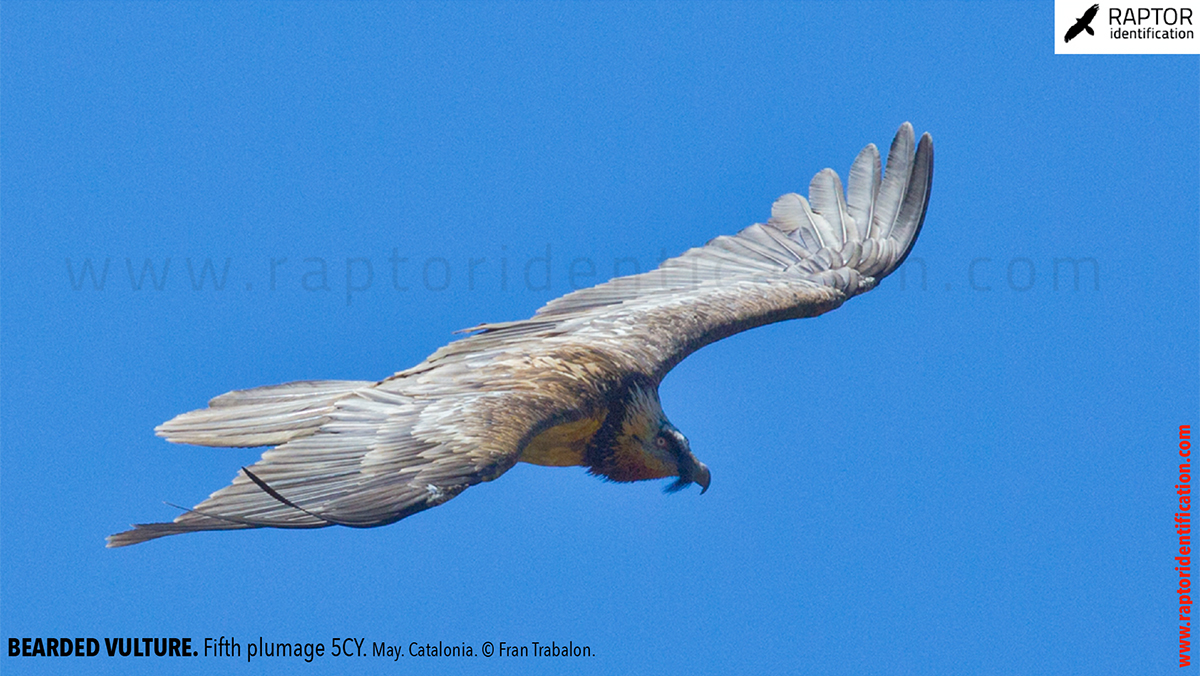 Bearded-Vulture-Fifth-plumage