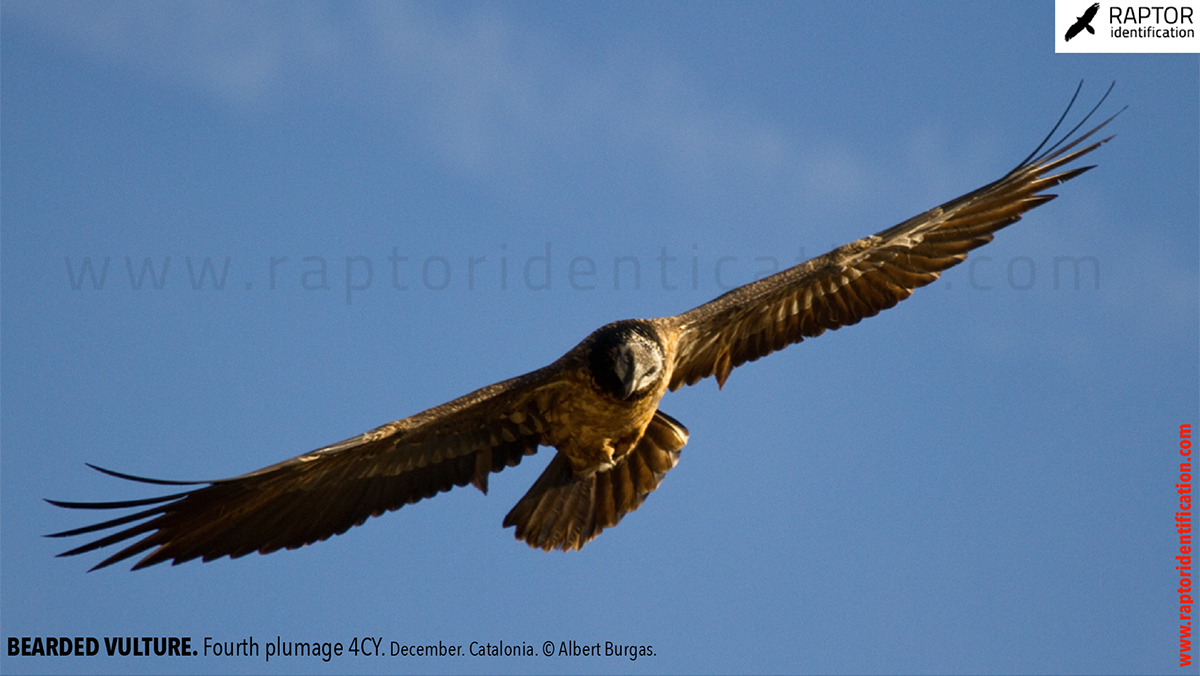 Bearded-Vulture-fourth-plumage
