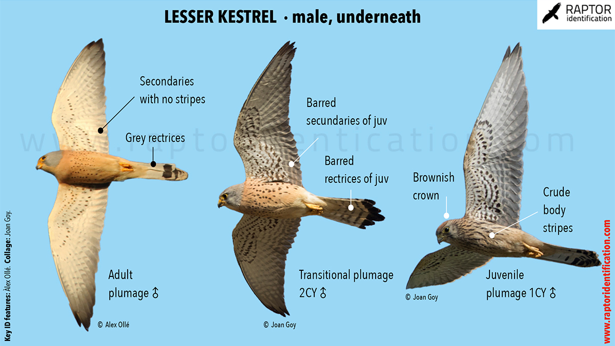 Lesser-Kestrel-male