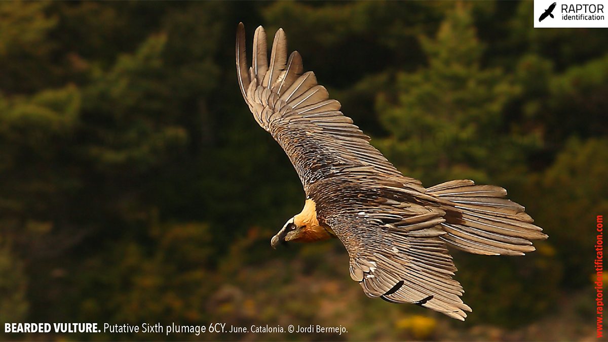 Bearded-Vulture-Sixth-plumage