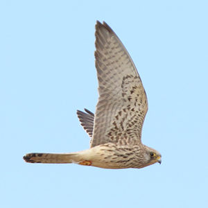 Lesser-Kestrel-Juvenile-plumage-identification
