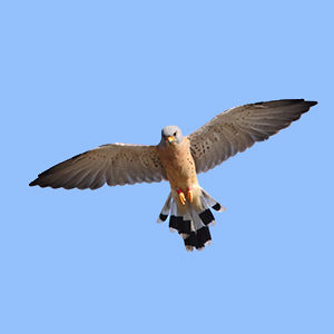 Lesser-Kestrel-male-identification