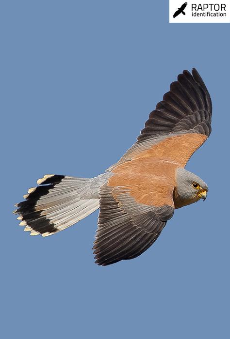 Lesser-kestrel