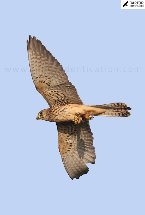 Lesser-Kestrel-Common-Kestrel-identification