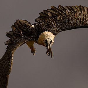 Bearded-Vulture-adult-plumage
