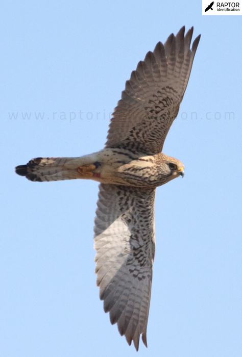 Lesser-Kestrel-female-identification