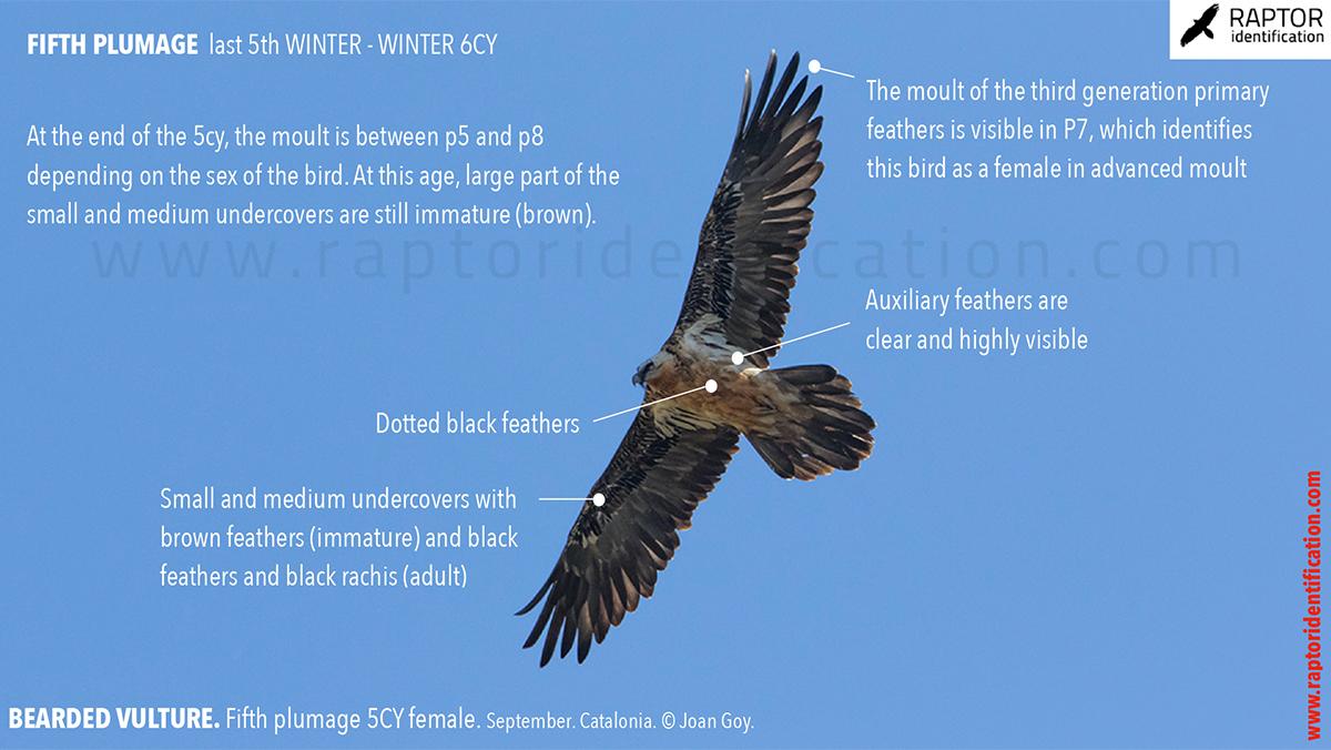 Bearded-Vulture-fifht-plumage