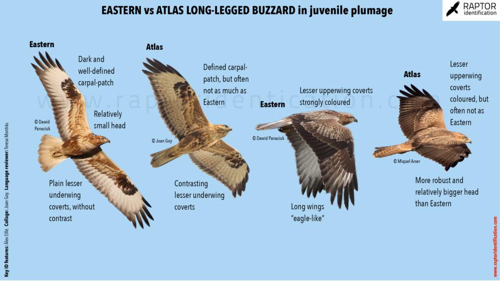 Long-legged-Buzzard-cirtensis-rufinus-identification