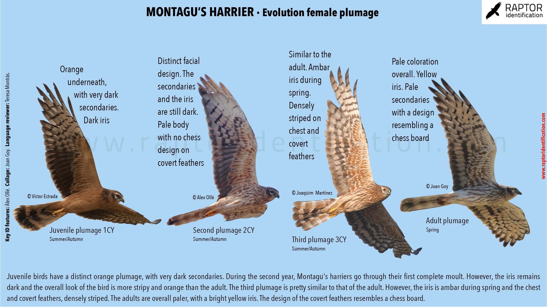 Montagu's-Harrier-female-plumage