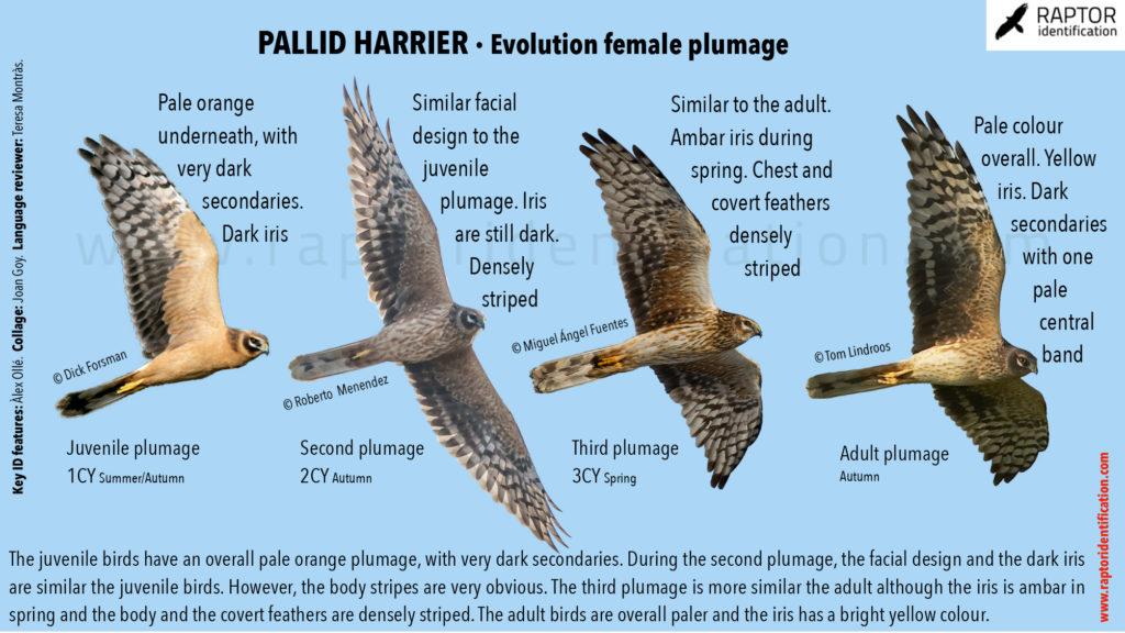 Pallid-Harrier-female-plumage