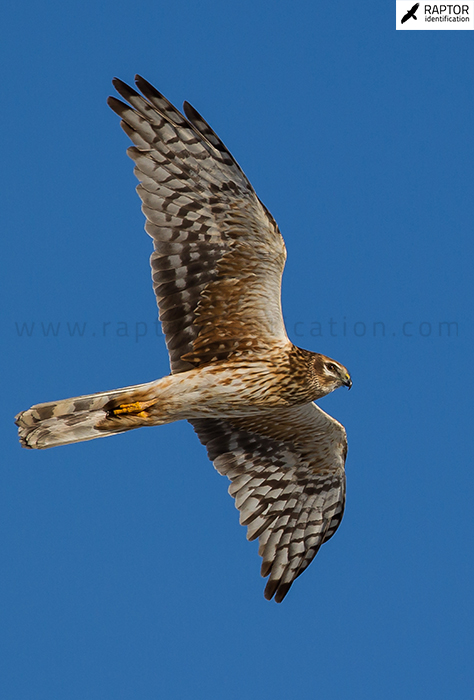 Pallid-Harrier-female-plumage
