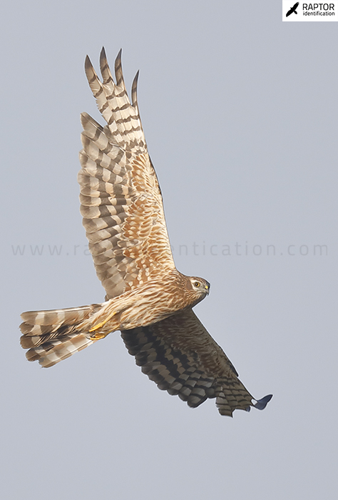 Montagu's-Harrier-female-plumage