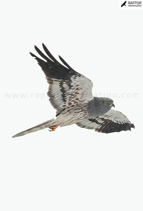 Montagus-Harrier