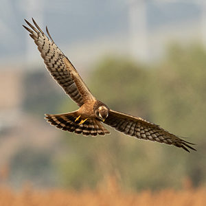 Juvenile-Montagu's-Harrier-identification-circus-pygargus