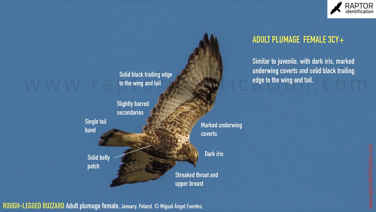 Rough-legged-buzzard-female-adult-identification-buteo-lagopus