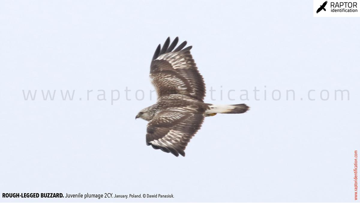 Buteo-lagopus-juvenile-plumage-rough-legged-buzzard