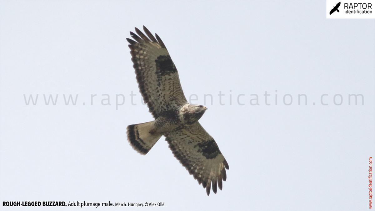 Rough-legged-buzzard-male-adult-identification-buteo-lagopus
